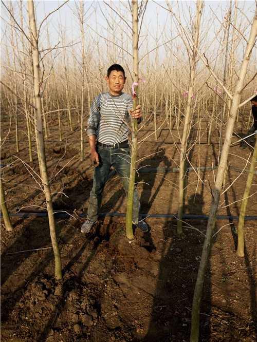银杏树苗每年能长多少 银杏树幼苗种植方法