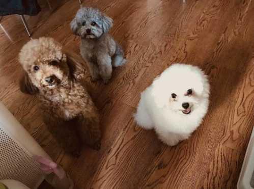 泰迪和吉娃娃交配出来的狗 泰迪忠诚度高吗