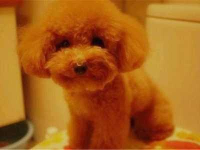 """泰迪犬和金毛生下的""""杂交""""种 我从泰迪杂交"""