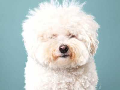 一组狗狗理发前后对比图 如何给狗狗理发