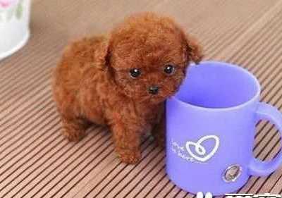 茶杯泰迪犬一般最高长到多少 刚出生的茶杯泰迪多大