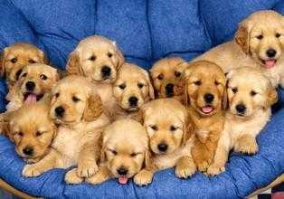周公解梦梦见很多狗 周公解梦狗