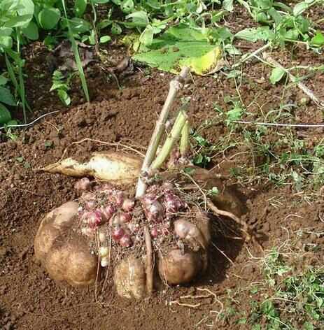 雪莲果的肥料选择和施肥技术 使用杆长粗肥料计术