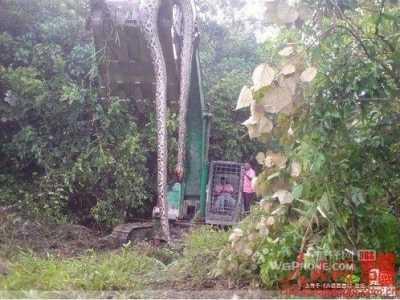 广西桂平深山挖出一条140岁金色蛇精 桂平蛇精