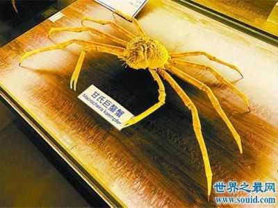 两三米的螃蟹见过没有 世界上最大海螃蟹图片