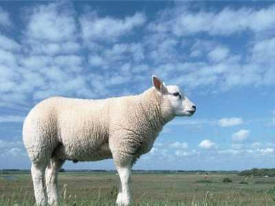 周公解梦 梦见白羊