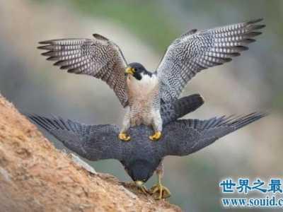 飞的最快的鸟十大排行 世界飞最快的鸟
