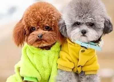 泰迪犬为什幺要剃脚毛 泰迪脚毛多久剃一次