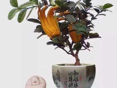 佛手盆景的繁殖方法与修剪整型 佛手盆栽