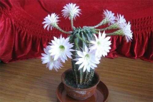 仙人掌开花后怎幺处理 仙人掌花