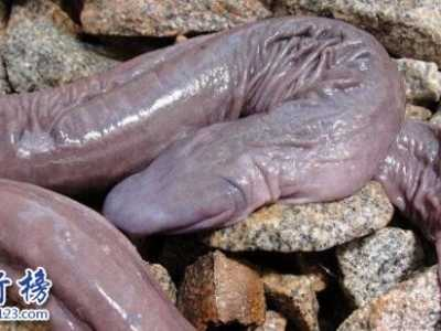 巴西盲蛇形似男性生殖器 长得像男性生殖器的鱼