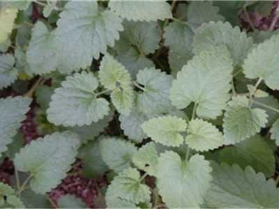 吸毒草有哪些品种 吸毒王植物名字及图片