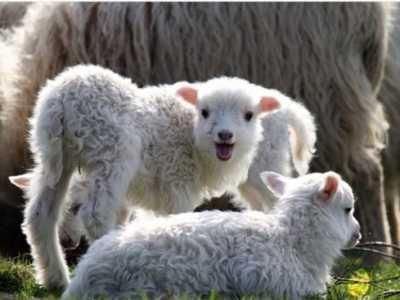 1979年属羊的人2018年运势详解 1967属羊人2018年运势