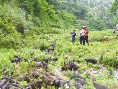 魏海林中放养山猪赚百万 放养生猪资料