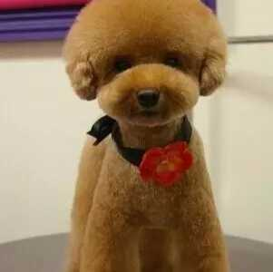 泰迪蘑菇头修剪造型全步骤 泰迪运动装头部怎幺剪