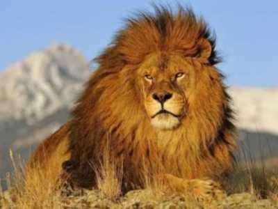 纯正血统巴巴里狮身长3.6米体重达六斤 狮子重量是多少公斤