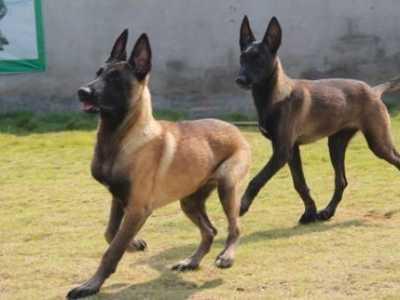 马犬养殖场养狗厂繁殖的幼犬 马犬标准样貌