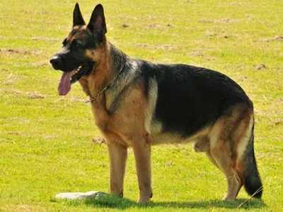 公认服从性最好的八大狗狗 有哪些比较好的大型犬
