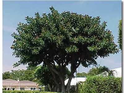 橡皮树的品种及产地 橡皮树图片