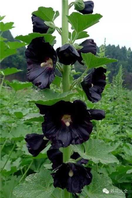 23种世上最黑最黑的花 世界上最着名的花