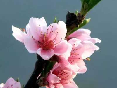 """""""桃花岛""""的花都开好了~ 颜色艳了"""