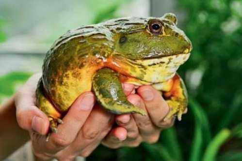 库百科牛蛙养殖 非洲牛蛙