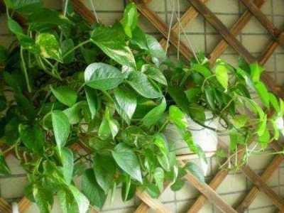 盆栽叶子变黄不要怕 绿黄相间叶子的植物