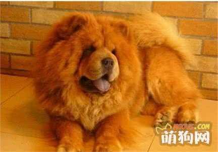 世界上最懒的狗松狮到底有多懒 世界上最懒的鸟妈妈